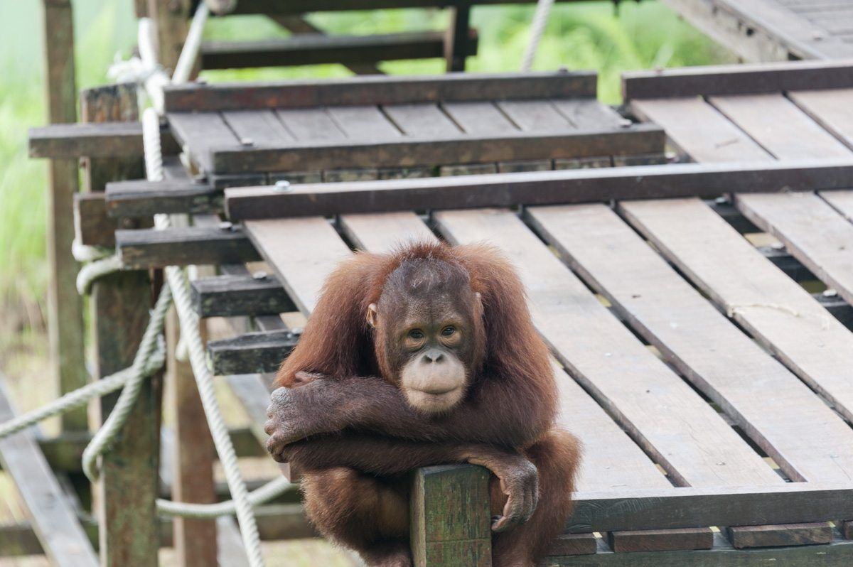matang wildlife centre young orang