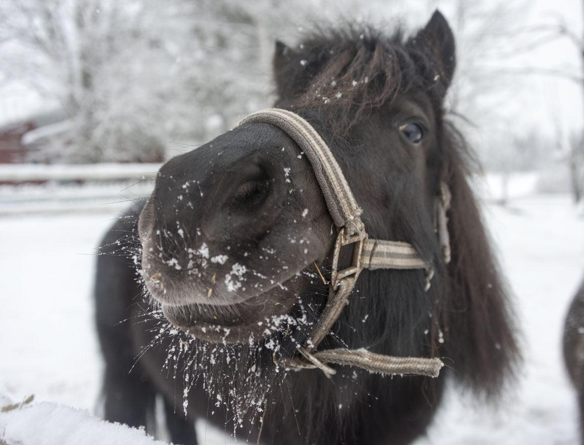 icelandic pony finland