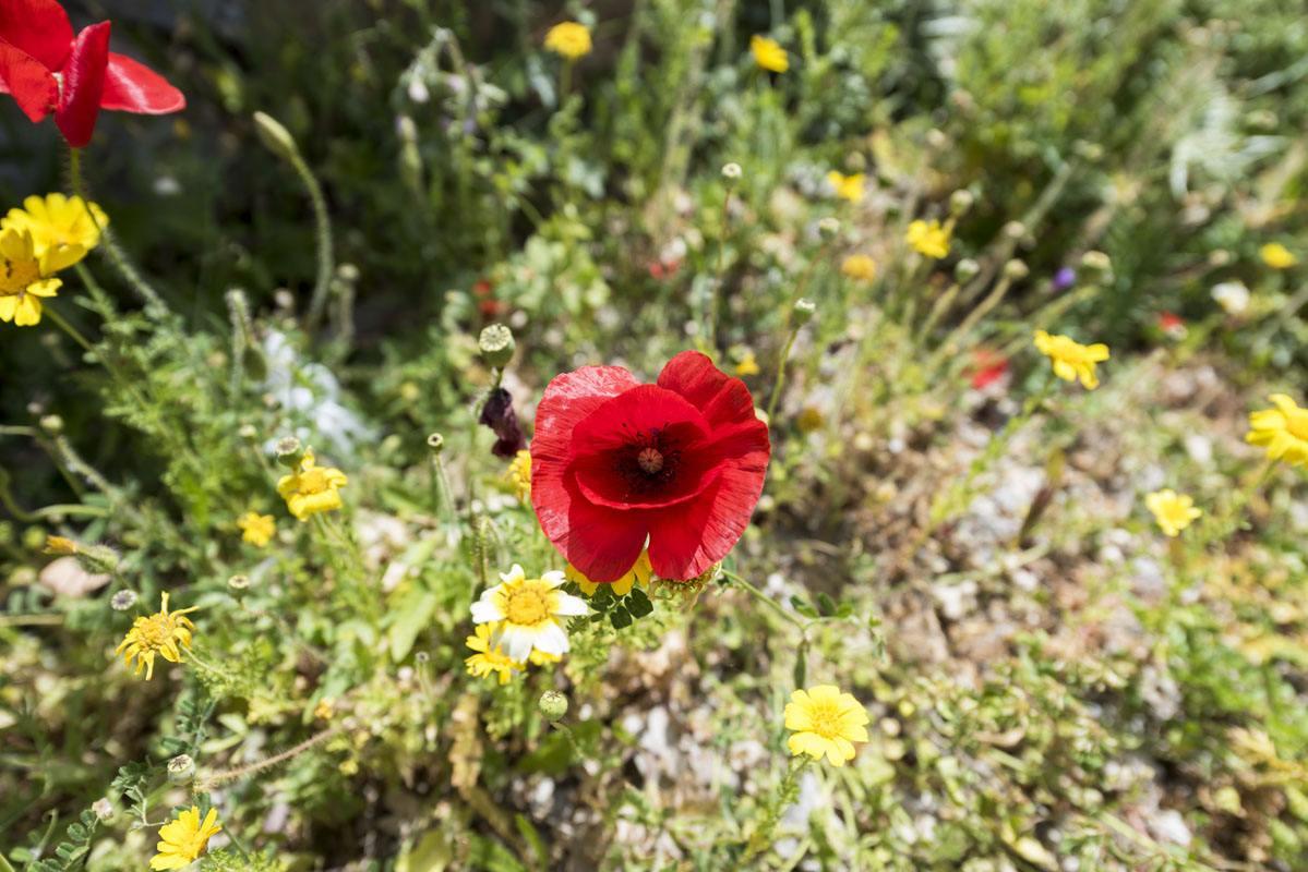 red poppy flowers greek islands