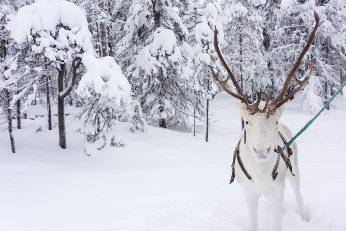 salla white cute reindeer lapland