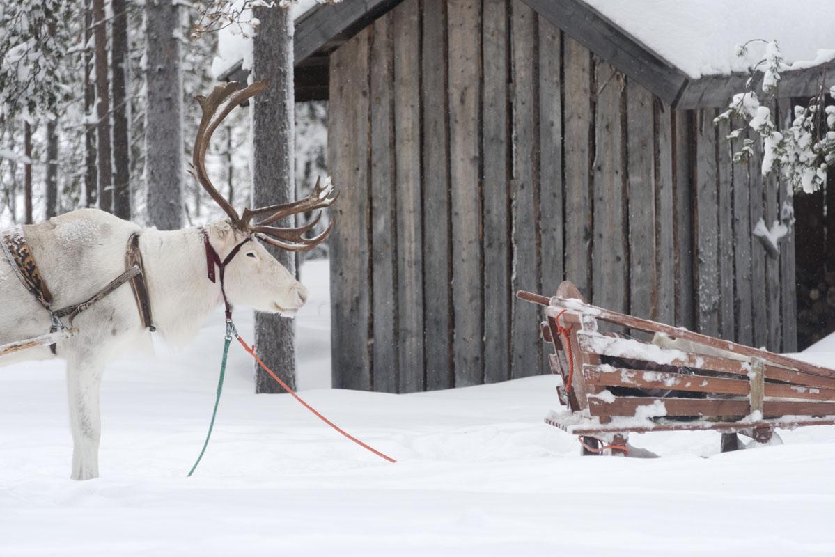 white reindeer sleigh lapland