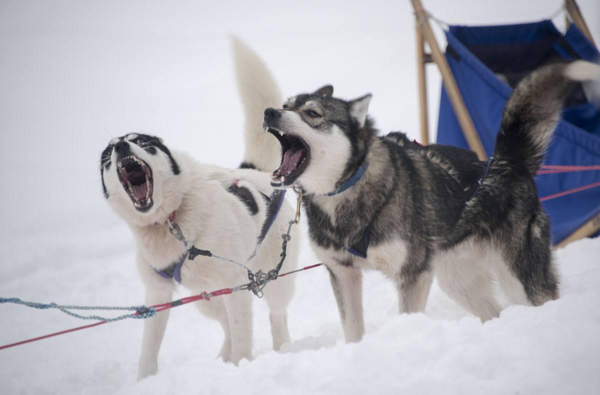lapland huskies barking