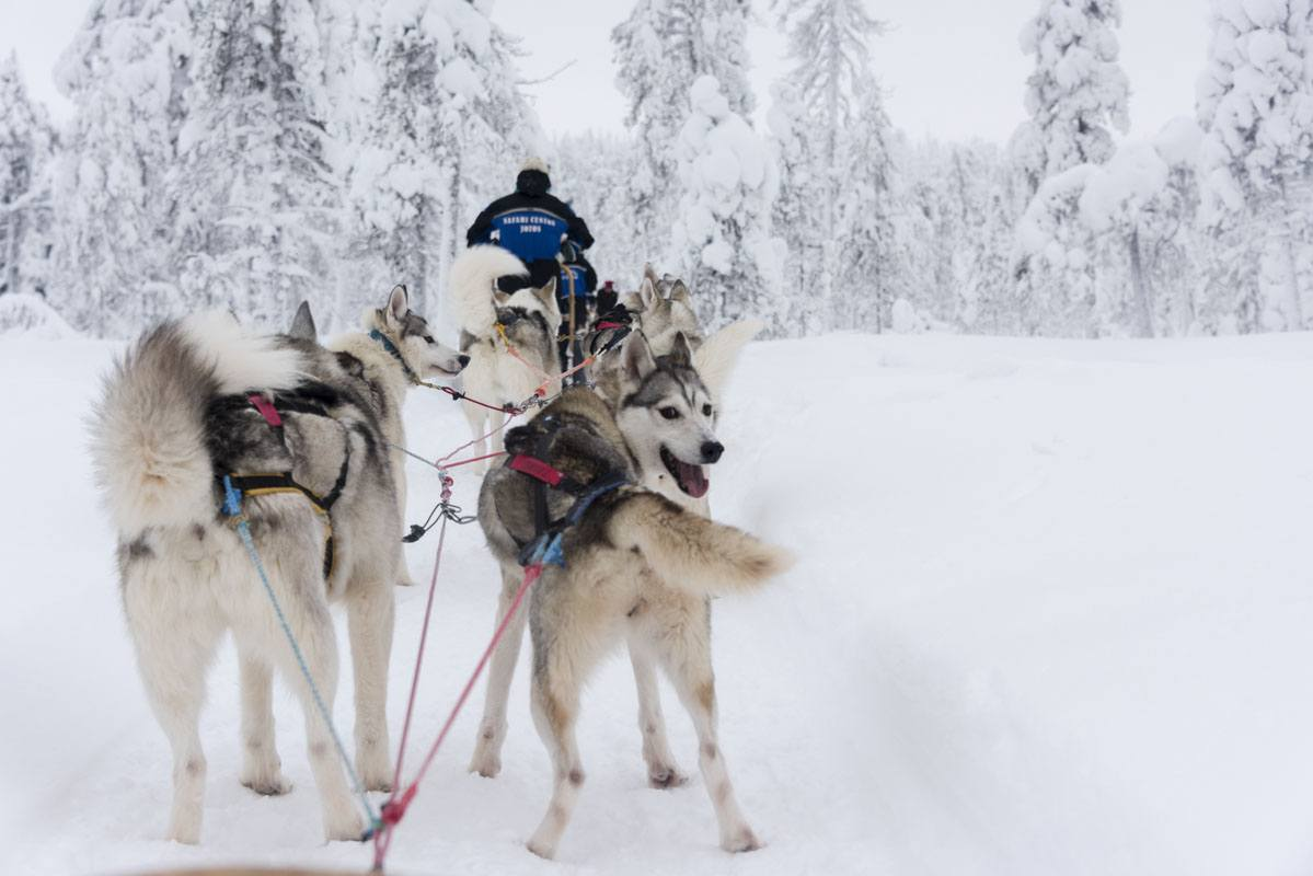 salla finland dogsledding husky pack