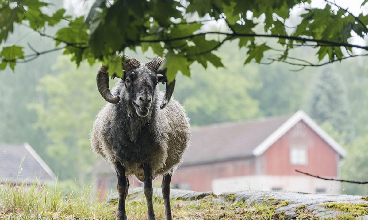 aland sheep martinpiha