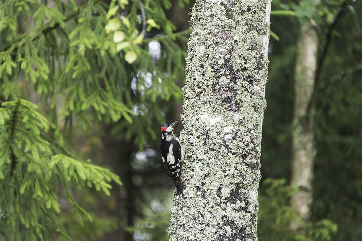 finnish woodpecker