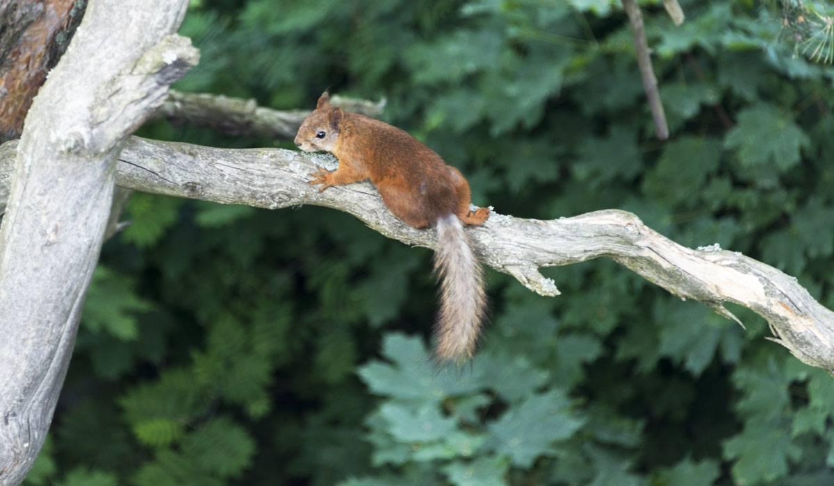 squirrel finland porvoo