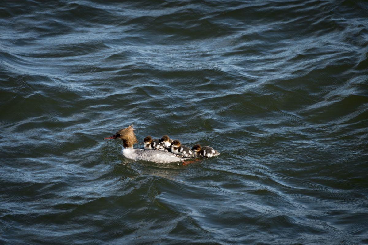 helsinki duck babies