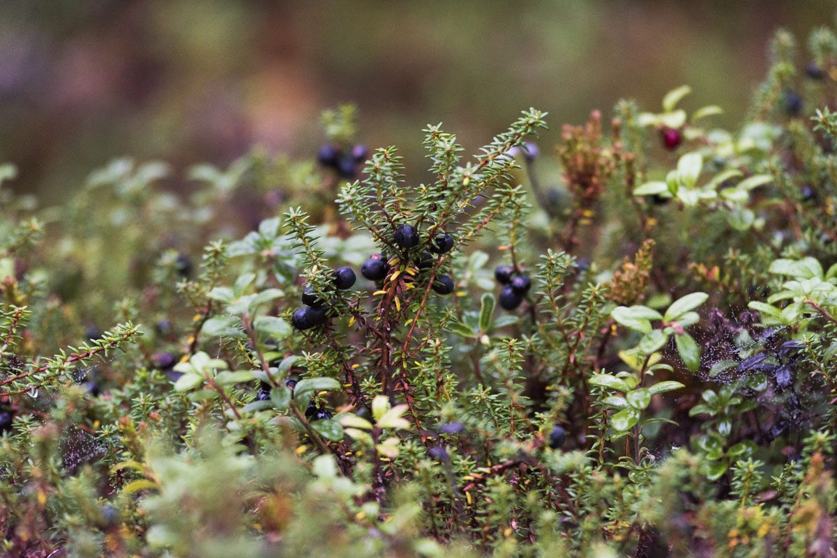 autumn-berries-lapland