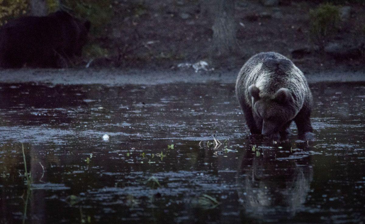 bear-night-finland-kuusamo