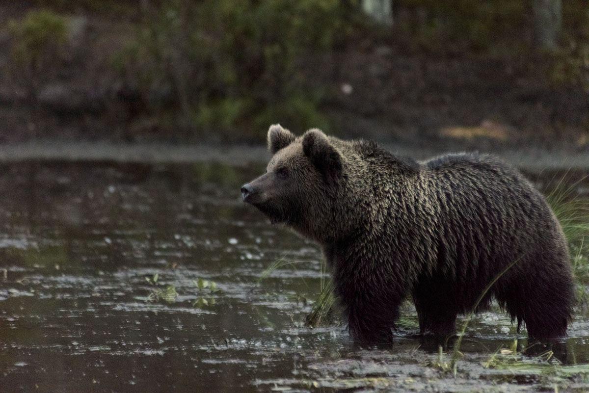 bear-profile-pond