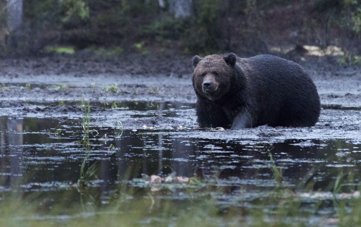bear-watching-finland-kuusamo