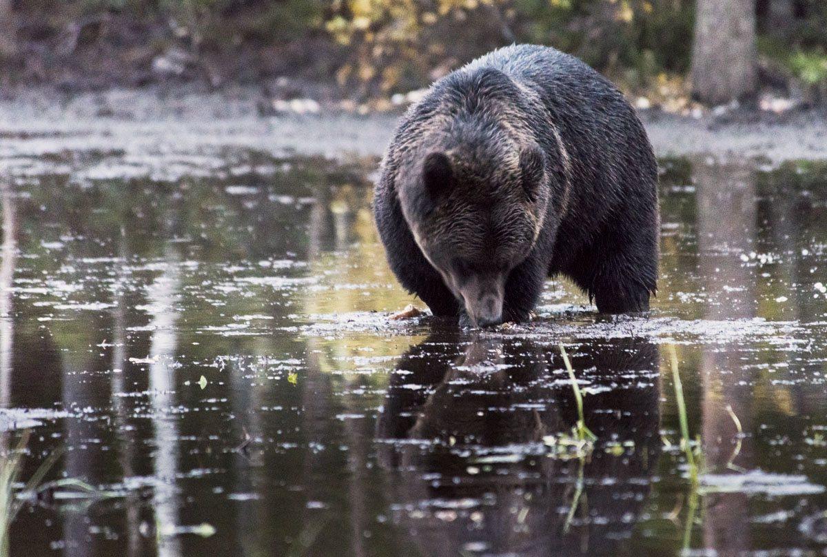 bear-watching-finland-lapland