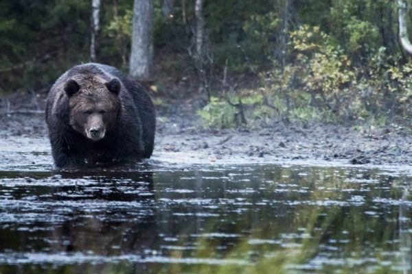 bear-watching-in-finland