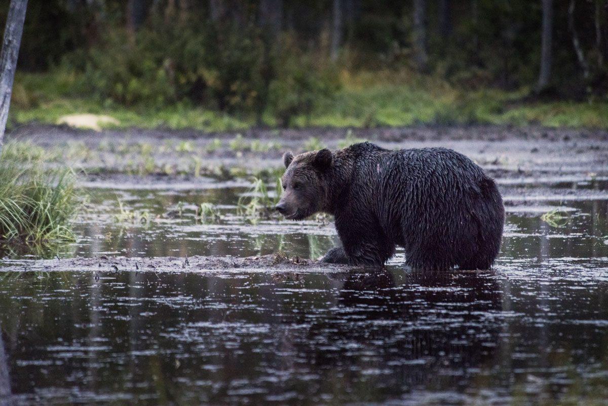 bear-watching-in-finland-kuusamo