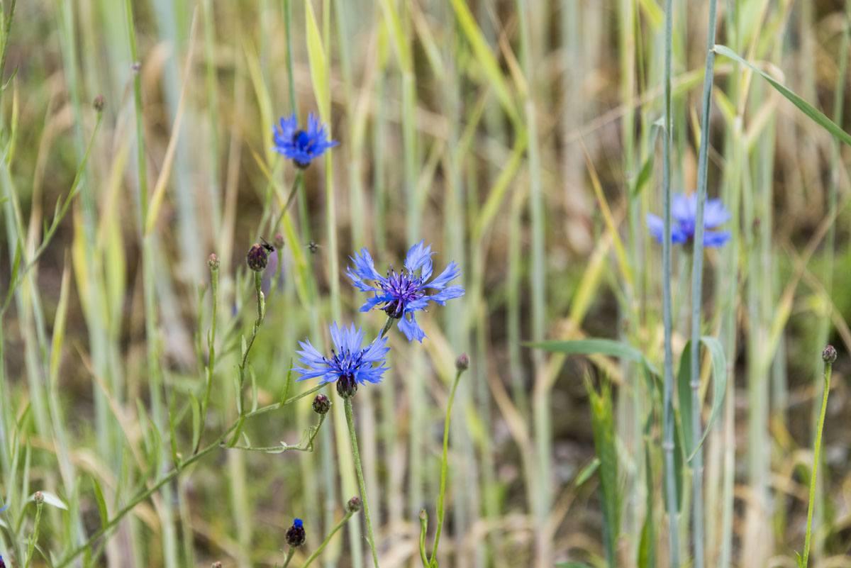 blue-flower-finland