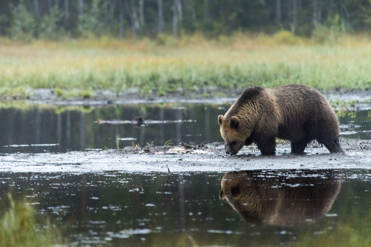 brown-bear-watching-finland