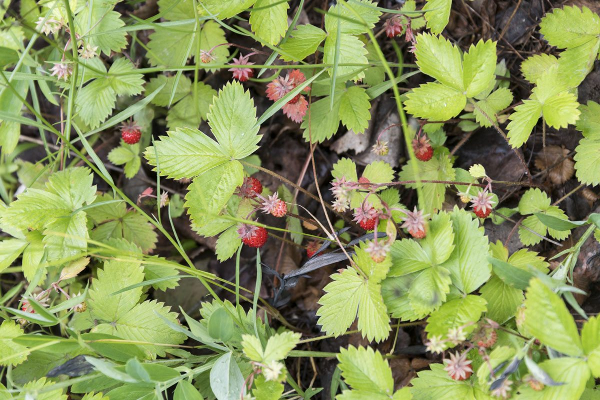 wild-strawberries-finland