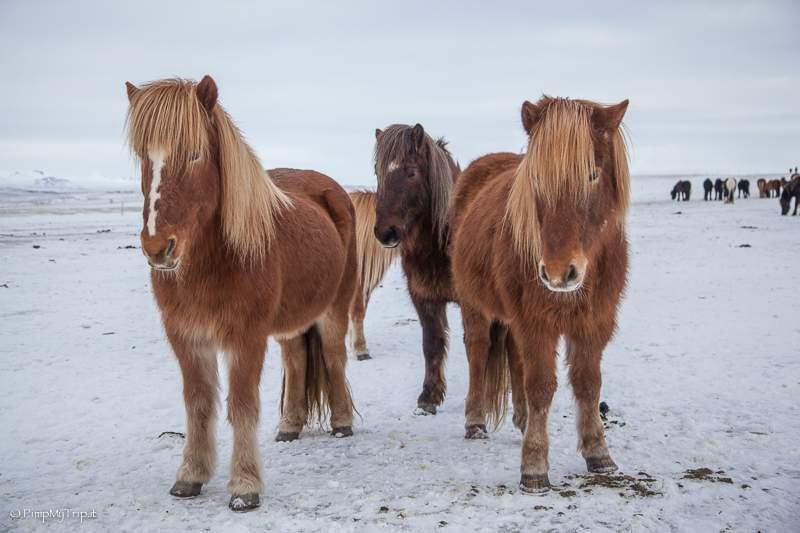 cavalli-islanda