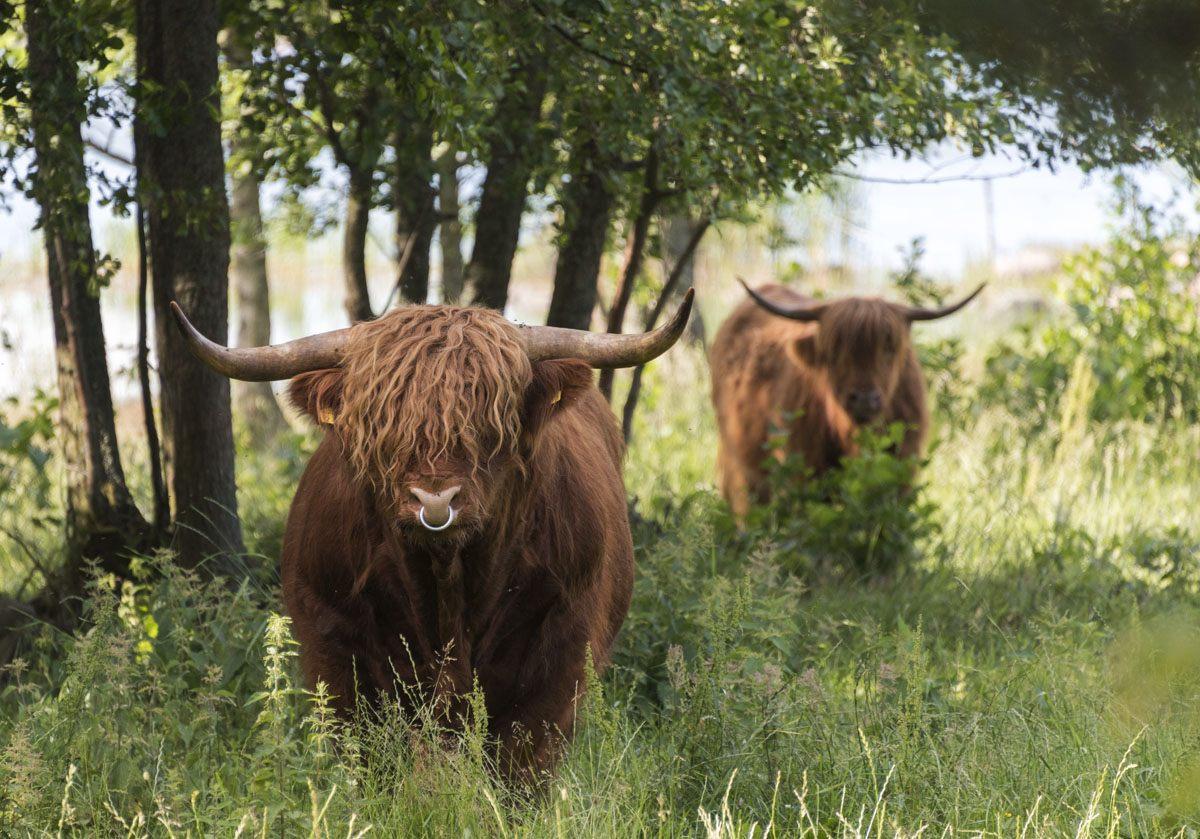 jurmo-aland-highland-cows