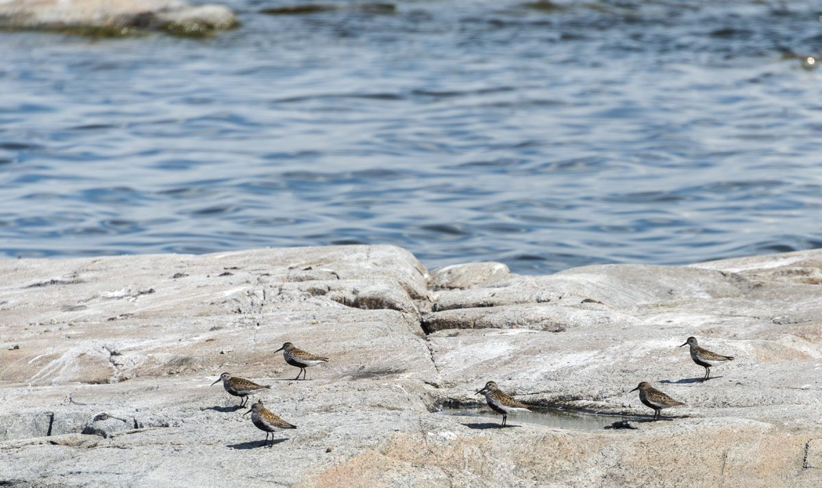 urmo-aland-islands-oystercatcher