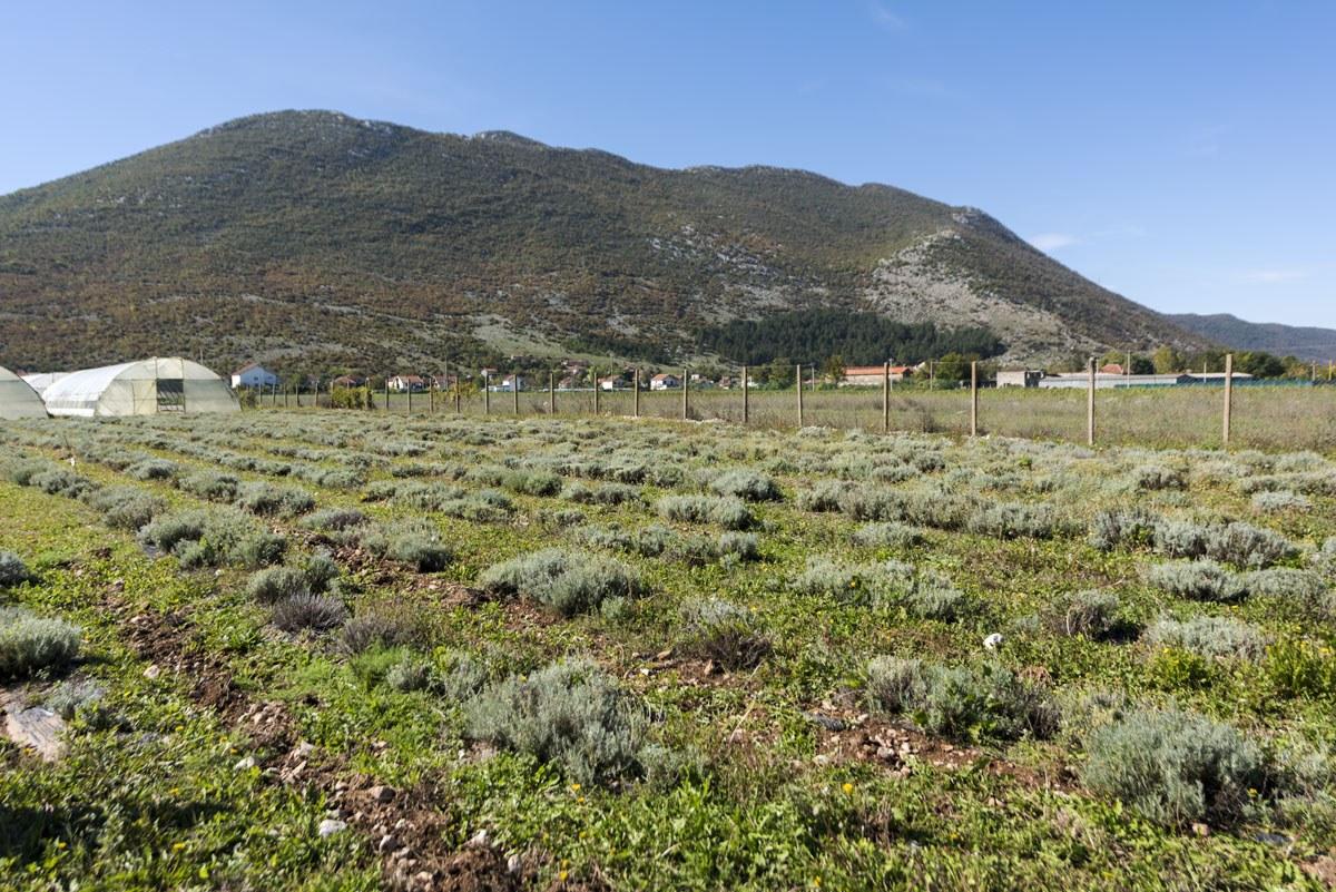 ljubinje-what-to-do-wild-herbs