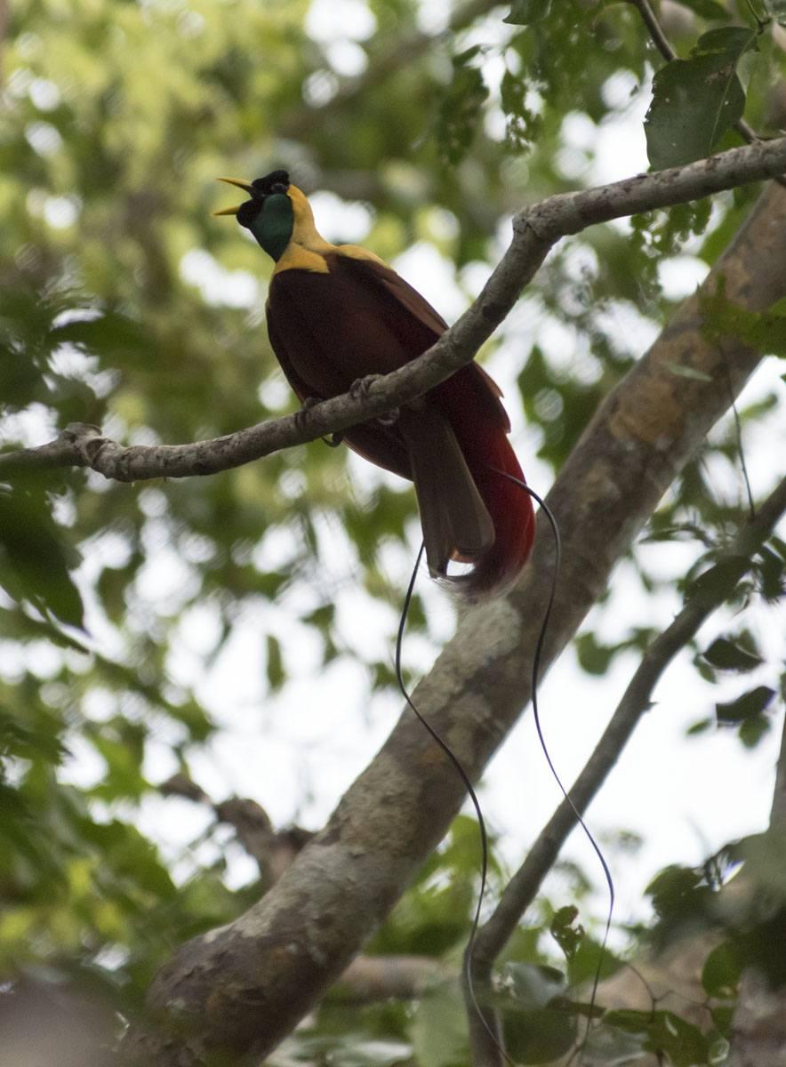 raja-ampat-bird-of-paradise