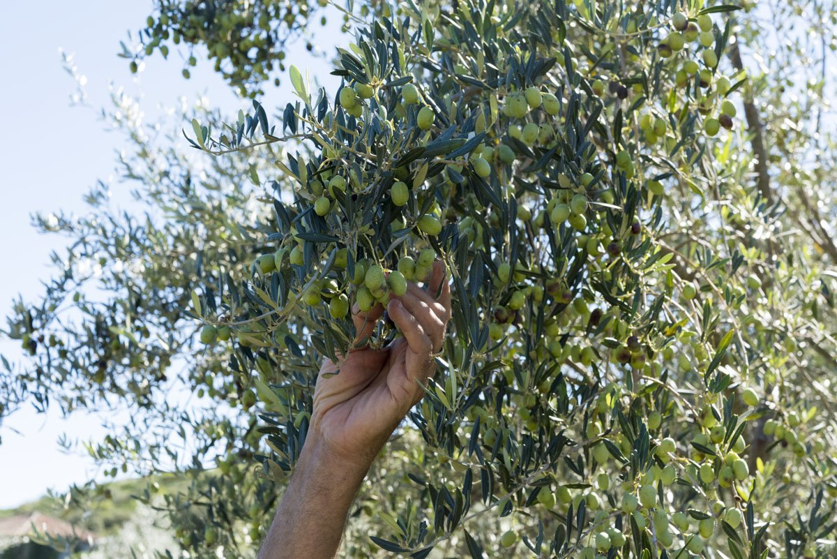sipan-croatia-picking-olives