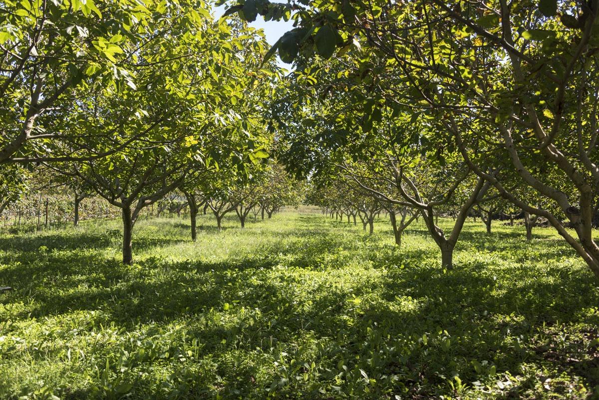 sipan-croatia-walnut-trees