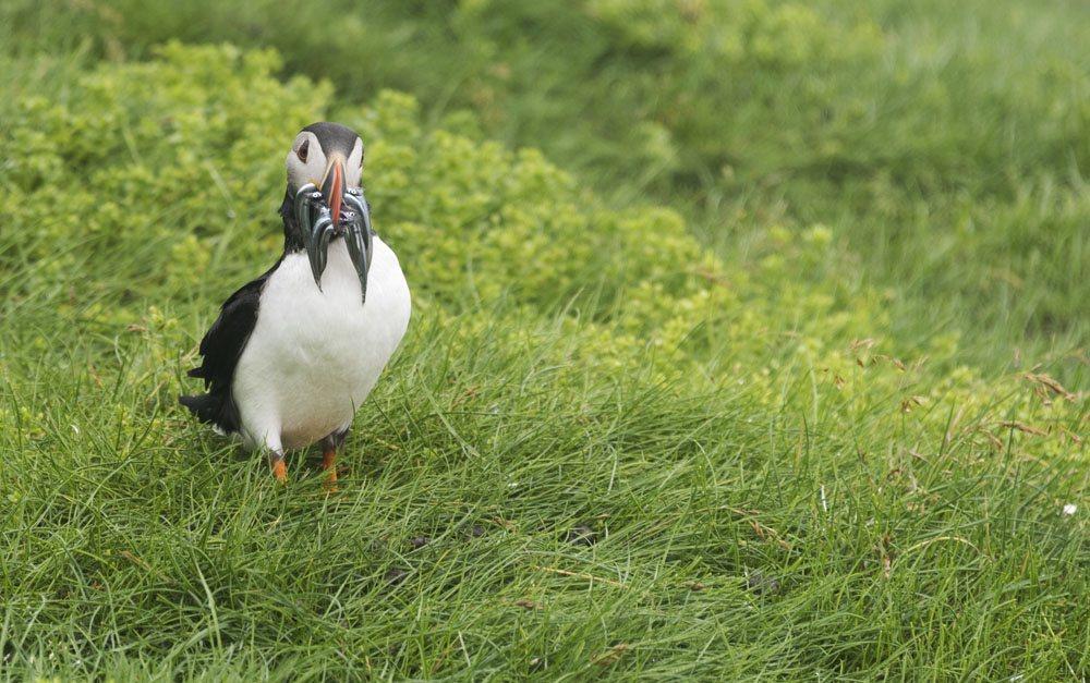 mykines faroe islands bird portrait