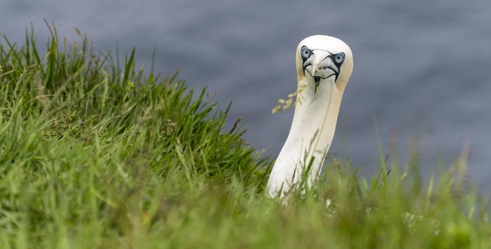 mykines faroe islands funny gannet