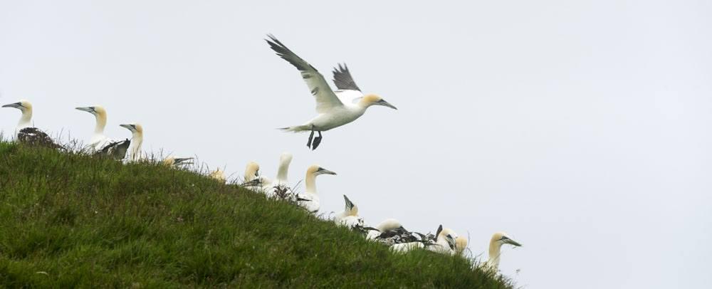 mykines faroe islands gannet taking flight