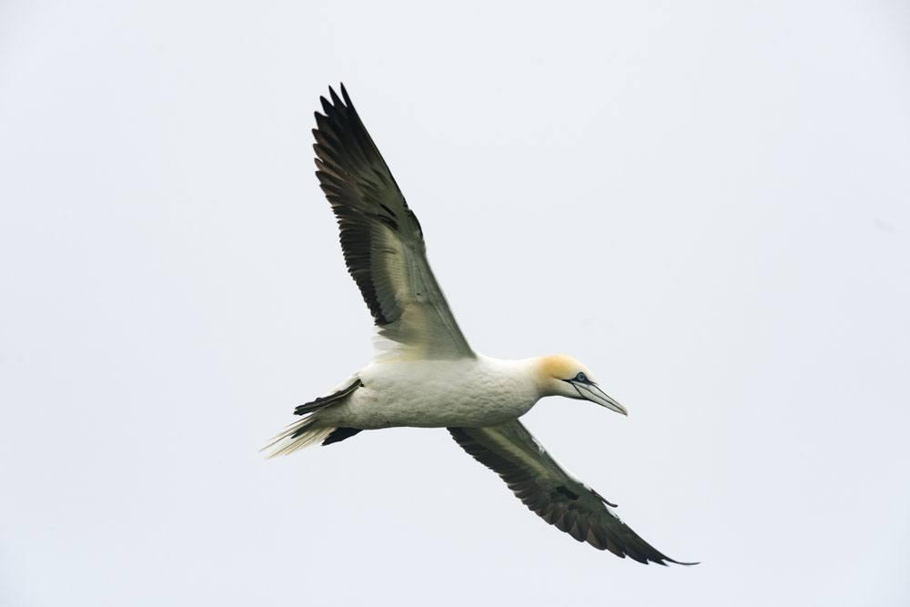 mykines faroe islands gannet