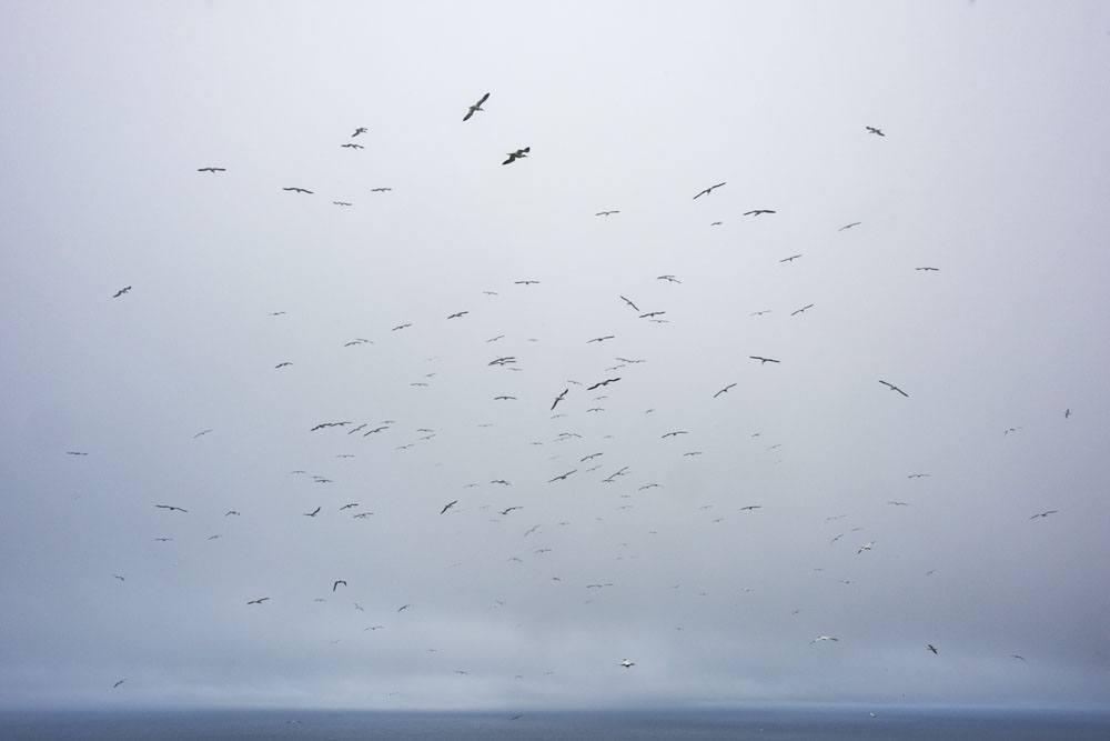 mykines faroe islands many birds