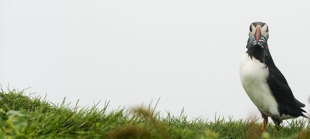 mykines faroe islands puffin alone