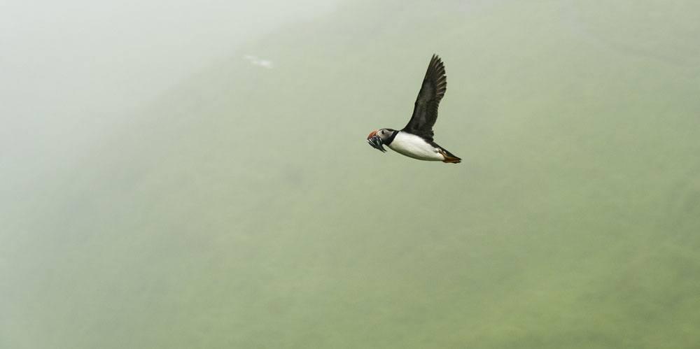 mykines faroe islands puffin birdwatching