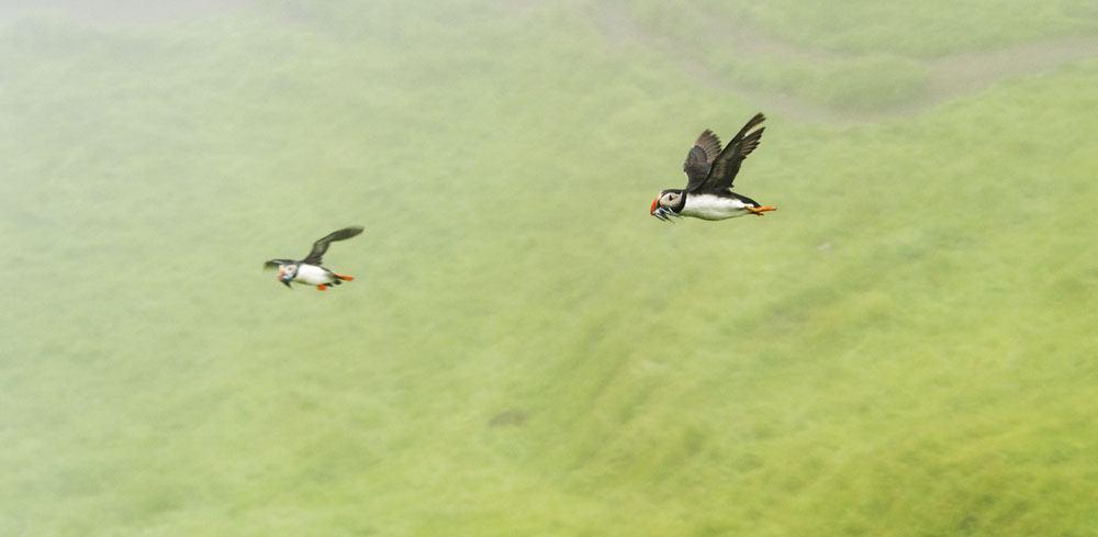 mykines faroe islands puffin in the air