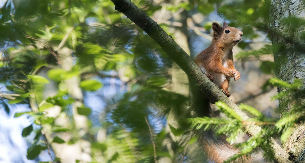 squirrel tree finland