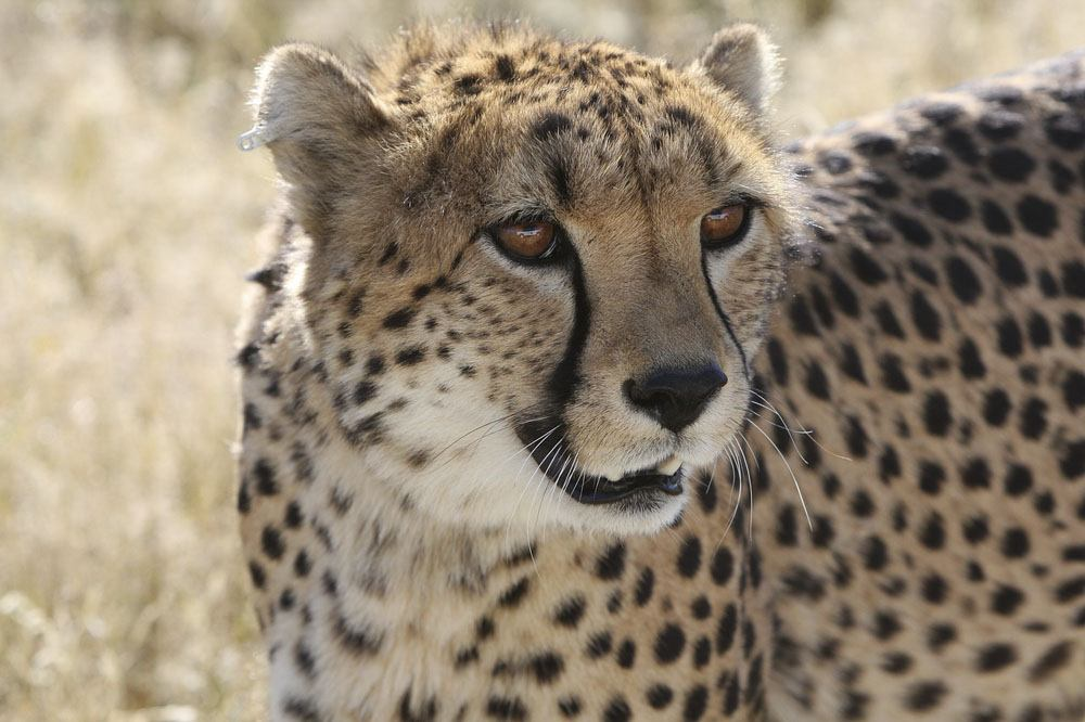 southern africa cheetah