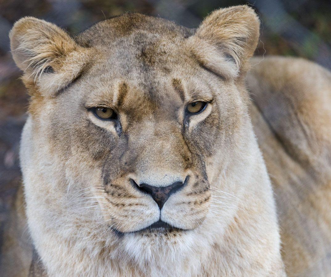 lioness jukani plett
