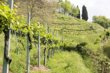 moscato di scanzo vines