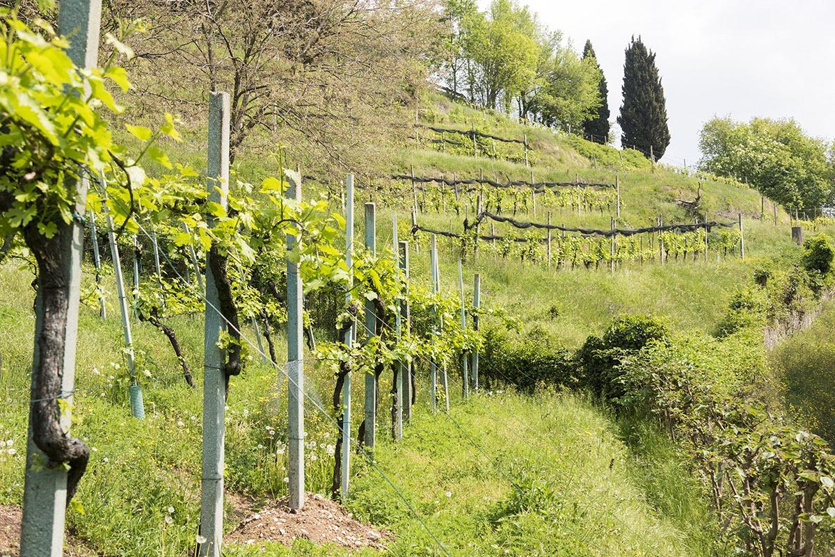 moscato di scanzo vines