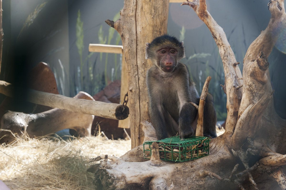 care baboons baby