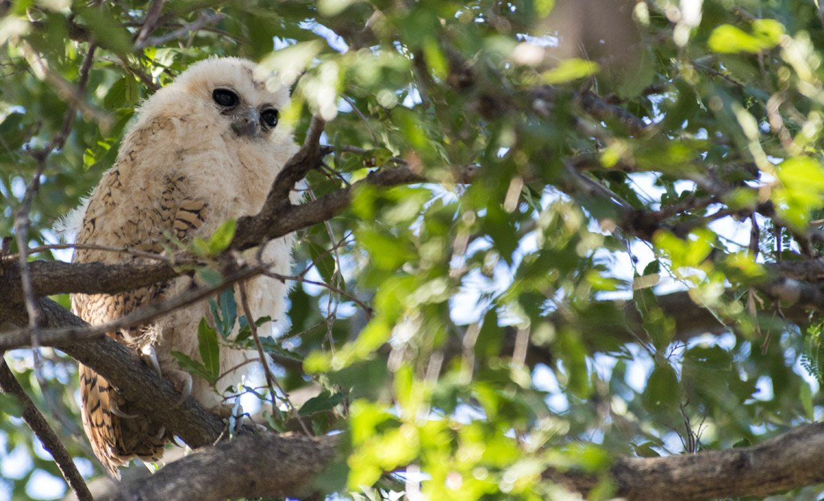 kruger pels fishing owl