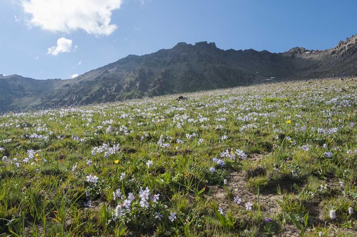 kyrgyzstan wildflowers