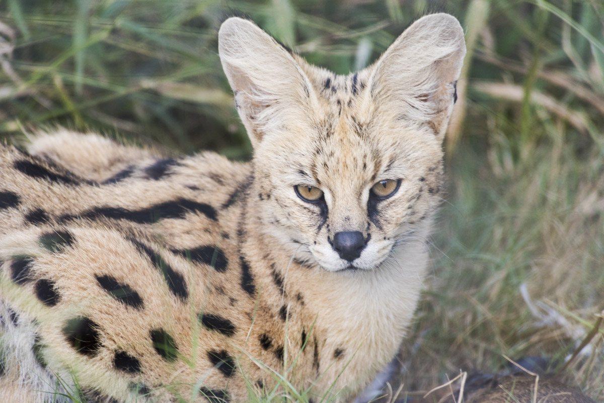 moholoholo serval