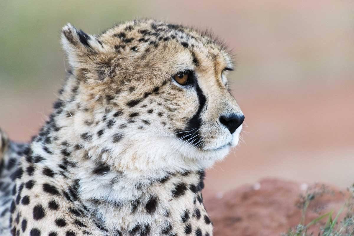 namibia africat cheetah