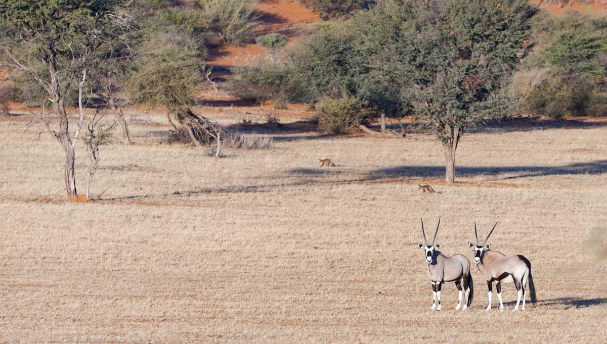 namibia kalahari oryx