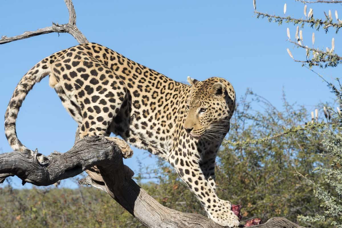 namibia safari leopard