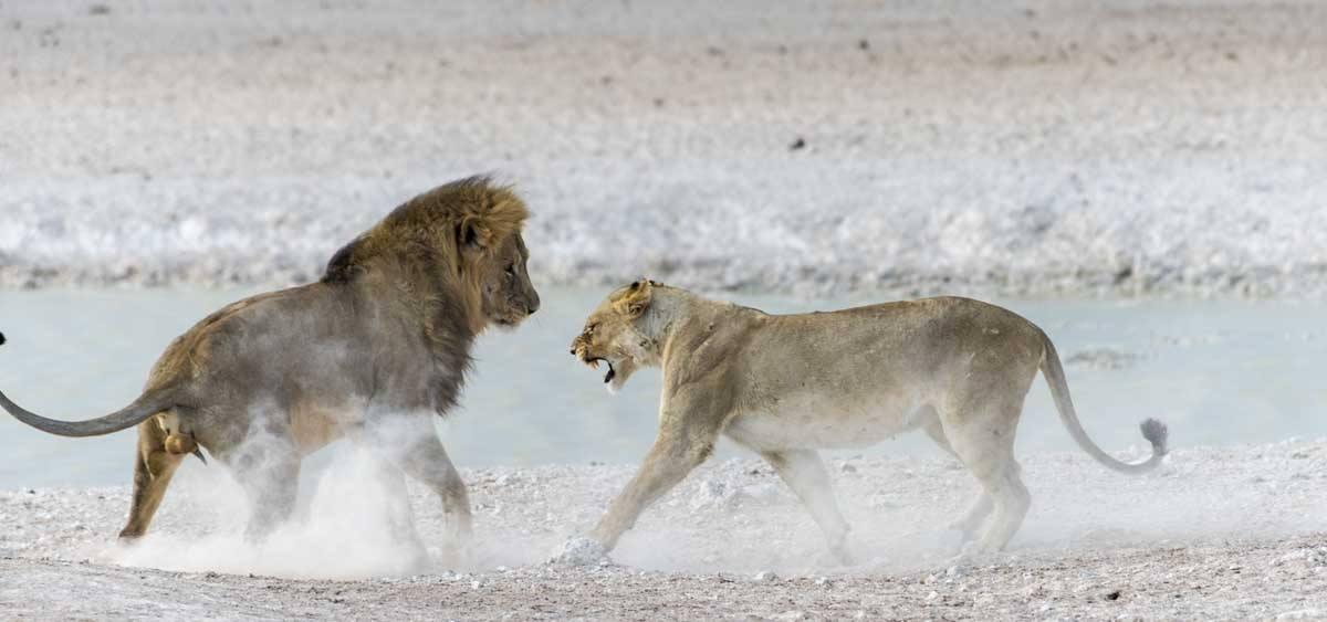 namibia safari lion etosha