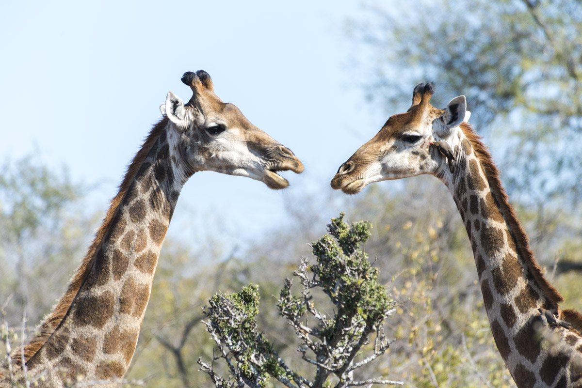 south africa giraffes talking
